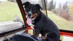 Hofhund Bobby aus Nesslau (SG) liebt Traktorfahren. Noch bevor Bauer Jörg Scherrer jeweils losfährt, sitzt Bobby schon mit sehnsüchtigem Blick auf seinem Platz in der Kabine.