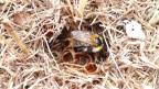 In den alten Grashalmen bauen Ackerhummeln ihr Nest.