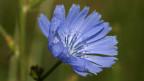 Das Bild zeigt eine violett-blaue Pflanze in einer Wiese. Es ist eine Wegwarte.