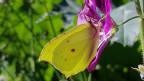 Gelber Zitronenfalter auf einer lila Blüte.