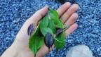 Auf einer Hand liegen verschiedene Basilikumblätter.