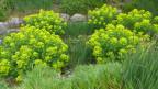 Ein Garten mit Wieseniris, Sumpf-Wolfsmilch und verschiedenen Gräsern.