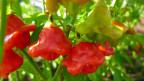 Rote und gründe Chilis hängen am Strauch.