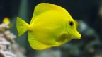 Ein gelber Fisch schwimmt im Meer.
