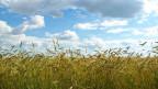 Weizenfeld vor Himmel mit Wolken.