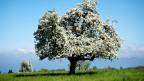 Stark blühender Apfelbaum auf einer Wiese.