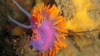 Ein violett und gelb leuchtendes Geschöpf bewegt sich über den Meeresboden