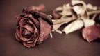 Welkende Rose