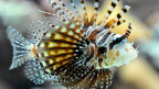 Phantastische Unterwasserwelt: Ein Feuerfisch im Vivarium des Zoo Basel.