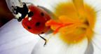 Marienkäfer in Blüte