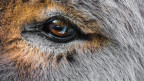 Auge eines Esels