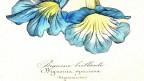 Taxonomische Zeichnung einer Pflanze mit grossen blauen Blüten