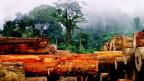 Baumstämme im Regenwald von Borneo.