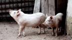 Schweine werden von Menschen gerne verzehrt - und verkannt.