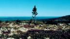Die schmächtige Fichte Old Tjikko gilt als der älteste Baum der Welt.