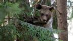 Ein junger Bär auf einem Baum.