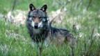 Im Goms erhitzt der Wolf die Gemüter der Bevölkerung.