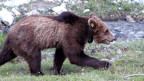 Nachdem Braunbären beinahe ausgerottet wurden, erholt sich der Bärenbestand in den Alpen wieder.