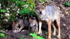 Wölfe als Inspiration: Führung übernehmen, damit die Kinder nicht die Leitwölfe sind.