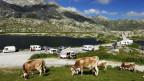 Kühe auf dem Gotthard-Pass.