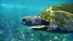 Die bedrohte Galapagosschildkröte in freier Wildbahn.