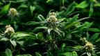 Foto von Cannabis-Pflanzen.