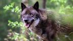 Ein Wolf in freier Wildbahn