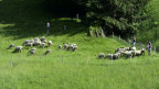 Schafe fallen hungrigen Wölfen immer wieder zum Opfer