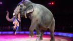 Ein dressierter Elefant in einer Zirkusmanege trägt eine Tänzerin in seinem Maul