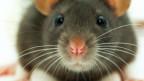 Lassen sich Ratten von Flötenmusik bezirzen?