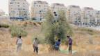 Freiwillige der Rabbiner für Menschenrechte helfen einem palästinensischen Bauern, dessen Bäume auf israelischem Siedlungsgebiet liegen, bei der Olivenernte.