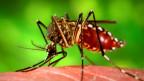 Die wichtigsten Überträger der Denguefieberviren sind die Weibchen der Gelbfiebermücke.