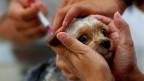 Ein Hund wird gegen Tollwut geimpft.