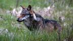 Ein Wolf im Walliser Obergoms, Mai 2013.