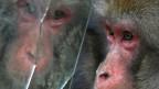 Affen spiegeln das Verhalten vom Gegenüber: Durch diese Beobachtung wurde das Spiegelneuron 1992 entdeckt.