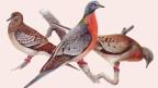 Wandertauben-Exemplare: Links ein junges Tier im typischen Federkleid, daneben ein farbenfrohes Männchen und rechts ein Weibchen.