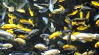 Buntbarsche im Zoo Zürich.