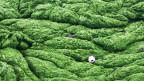 Aus Algen kann Methan gewonnen werden.