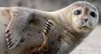 Peilsender für Robben mit erschreckenden Nebenwirkungen.