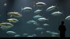 Kennen diese Fische Schmerzen?