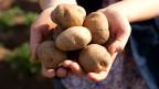 Ganz ohne Gentechnik: Kartoffeln, in den Händen einer Bäuerin.