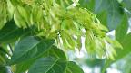 Ursprünglich ist der Götterbaum in China und im nördlichen Vietnam beheimatet.