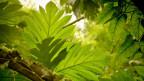 Die Natur wird vermessen: mit Lasern im Regenwald.