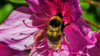 Süsses Gift: Bienen mögen Neonikotinoiden.