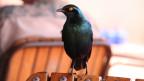 Lärm erschwert die Partnersuche der Vögel.