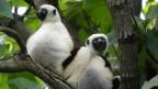 Veränderte Essgewohnheiten bedrohen auch die Lemuren.