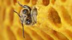 Auch Honigbienen mögen Koffein.