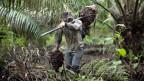Ölpalmen sichern vielen Bauern den Lebensunterhalt.