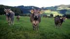Kühe mit Hörnern werden immer mehr zur Seltenheit.