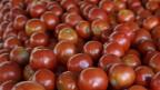 Schädlinge setzen Nutzpflanzen wie Tomaten stark zu.